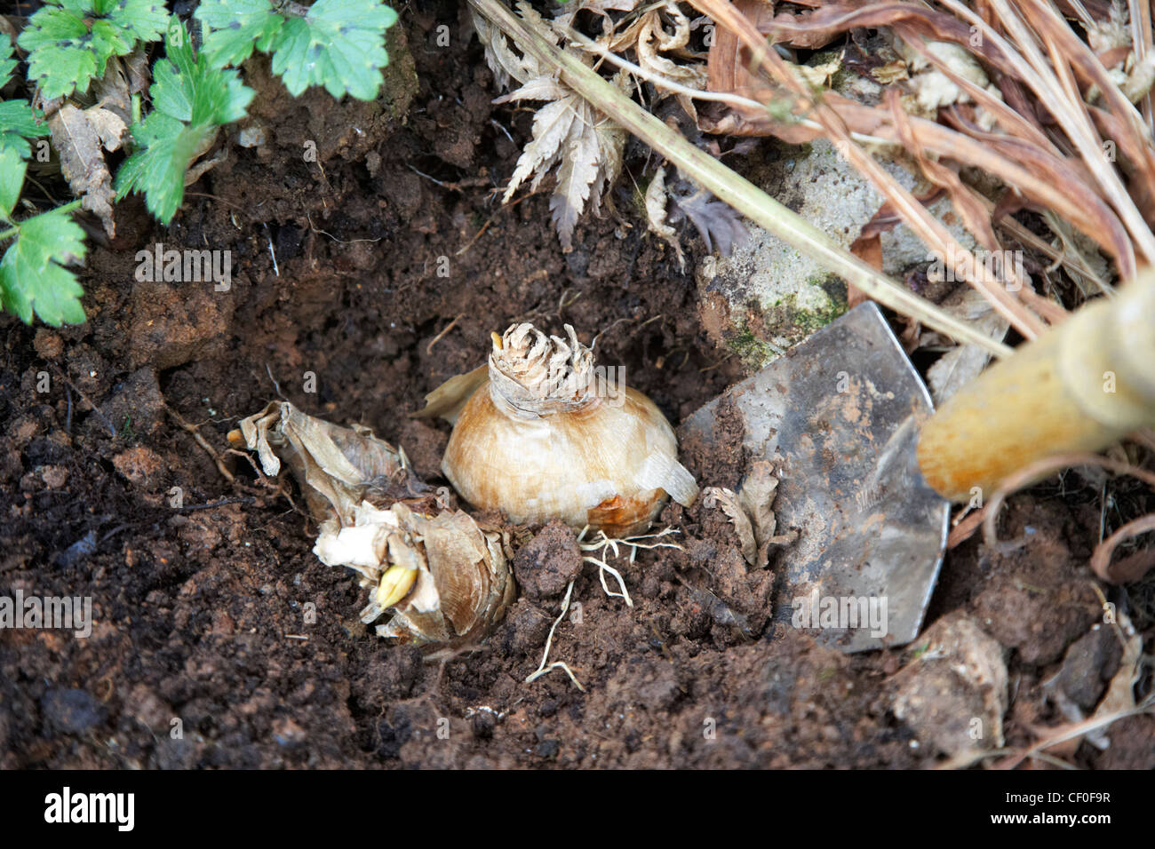 planting daffodil flower bulbs in a garden in the uk Stock Photo