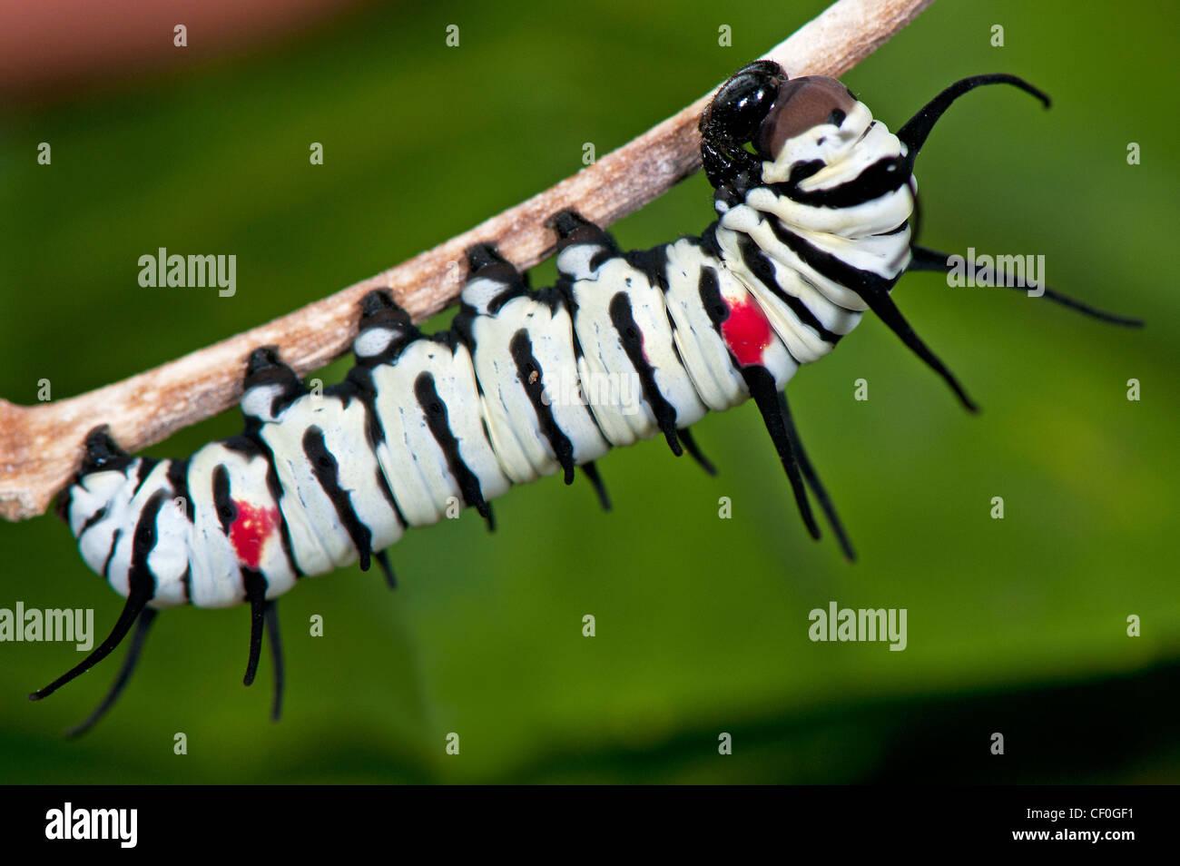 A Great Tree Nymph larva Stock Photo