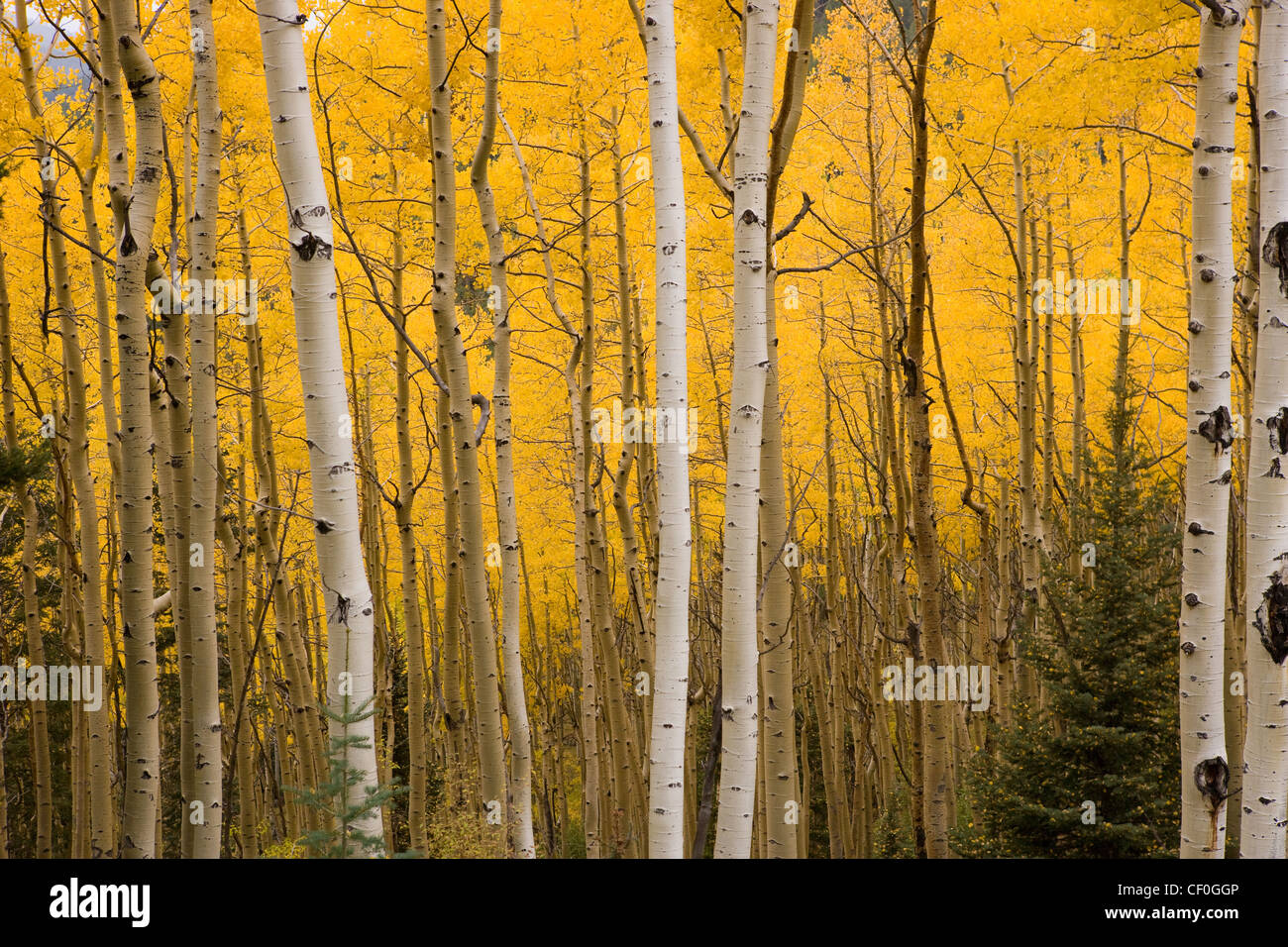 Leves changing color, bright yellow, white bark of aspen trees ...