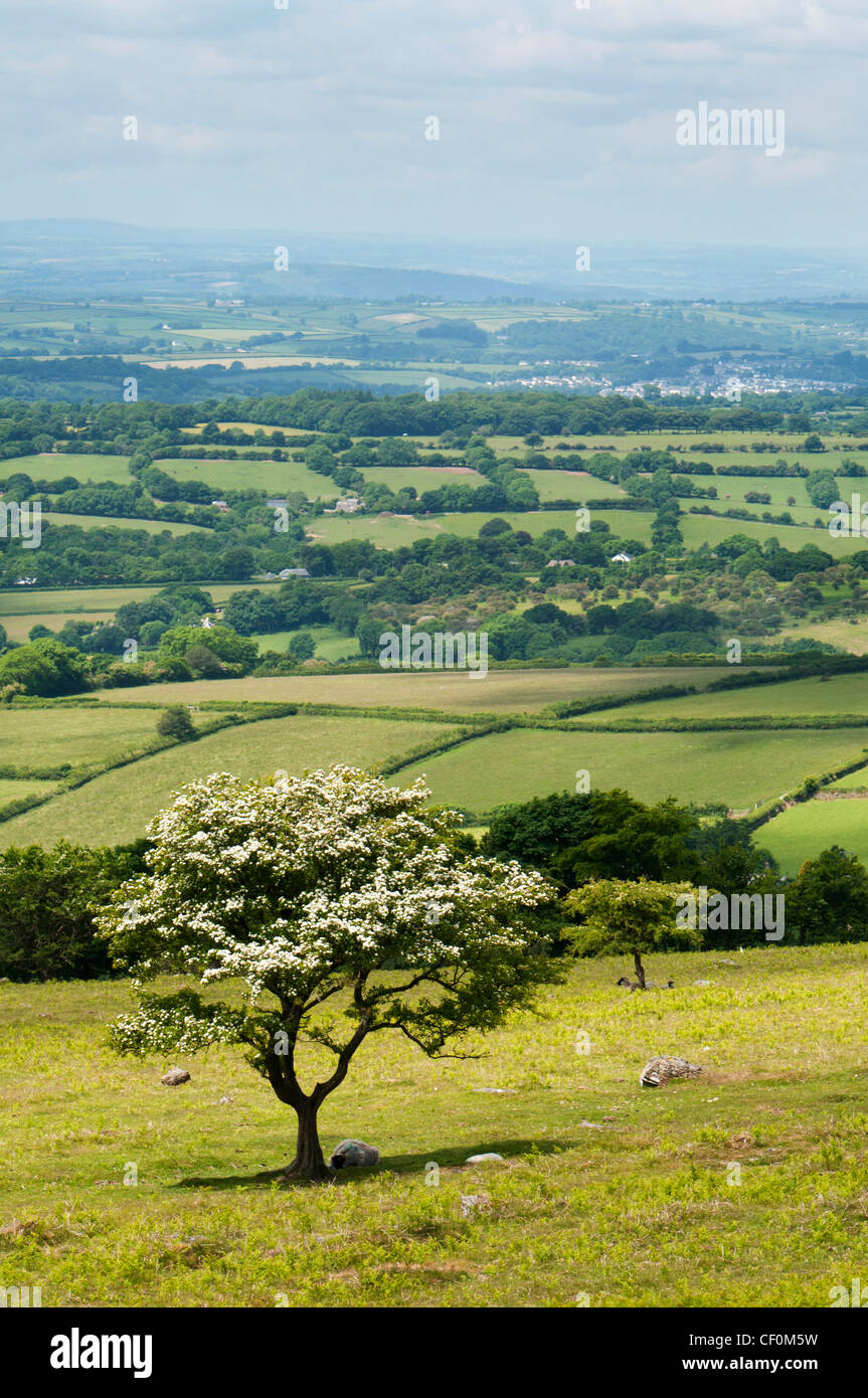 Hawthorn tree in blossom with rolling fields in the background, Dartmoor, Devon UK - Stock Image