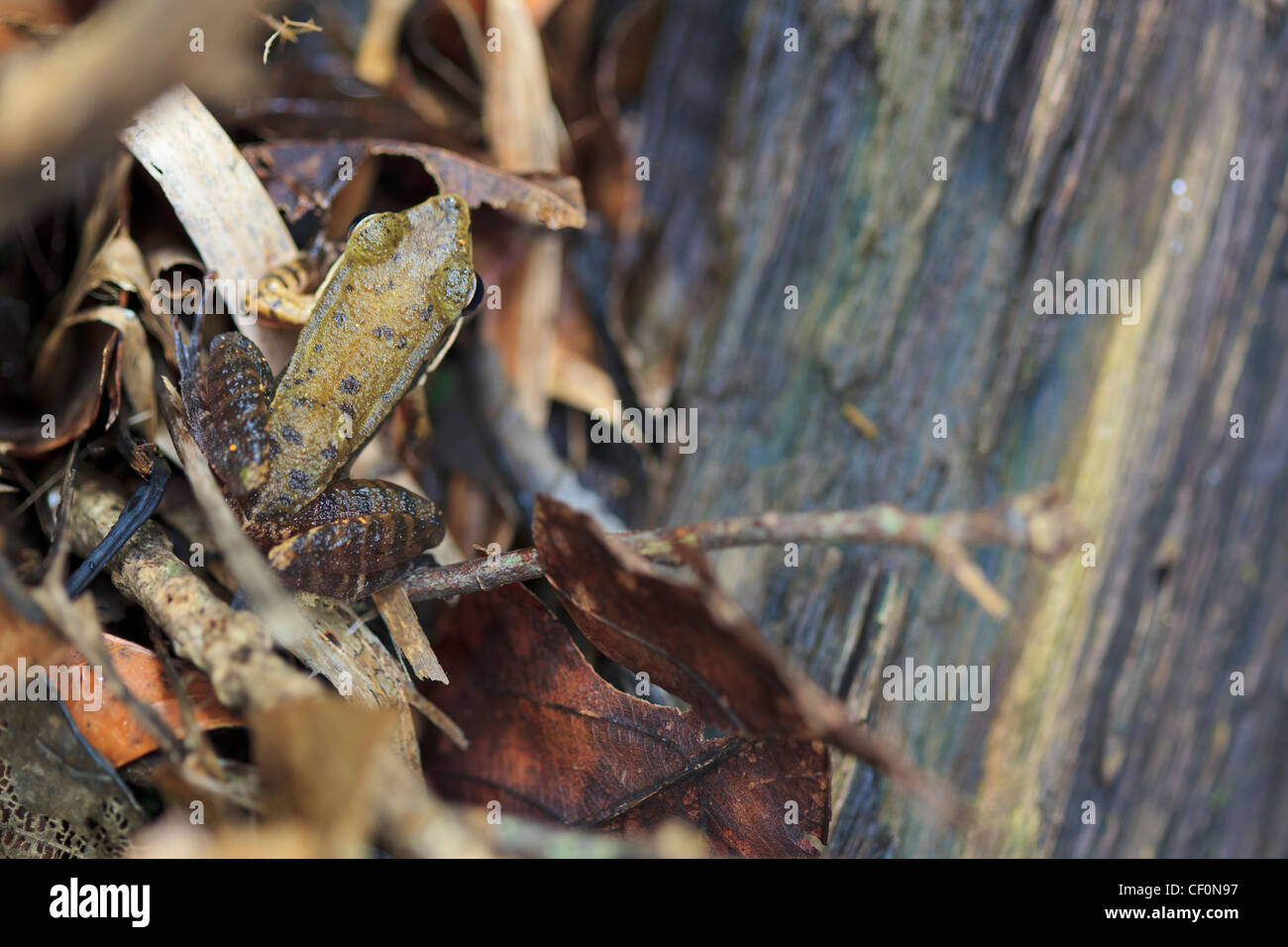 Frog (Hylarana attigua) in a stream. Bach Ma National Park. Vietnam. - Stock Image
