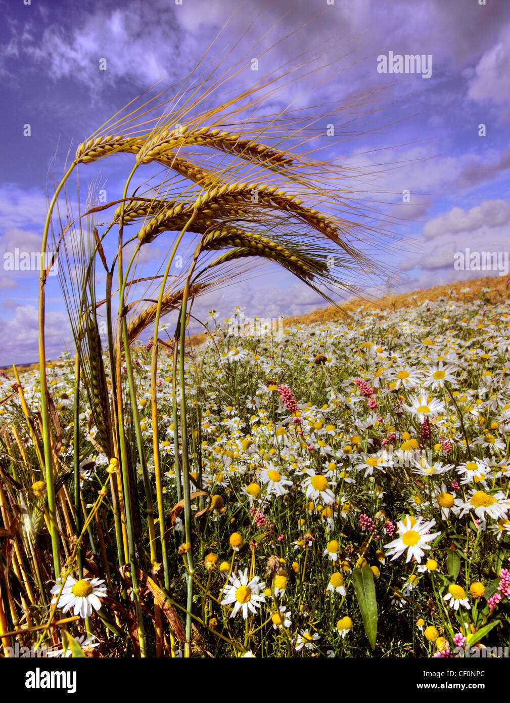 Corn in a summer English field battling wild flowers near Walton, Warrington Cheshire UK Stock Photo