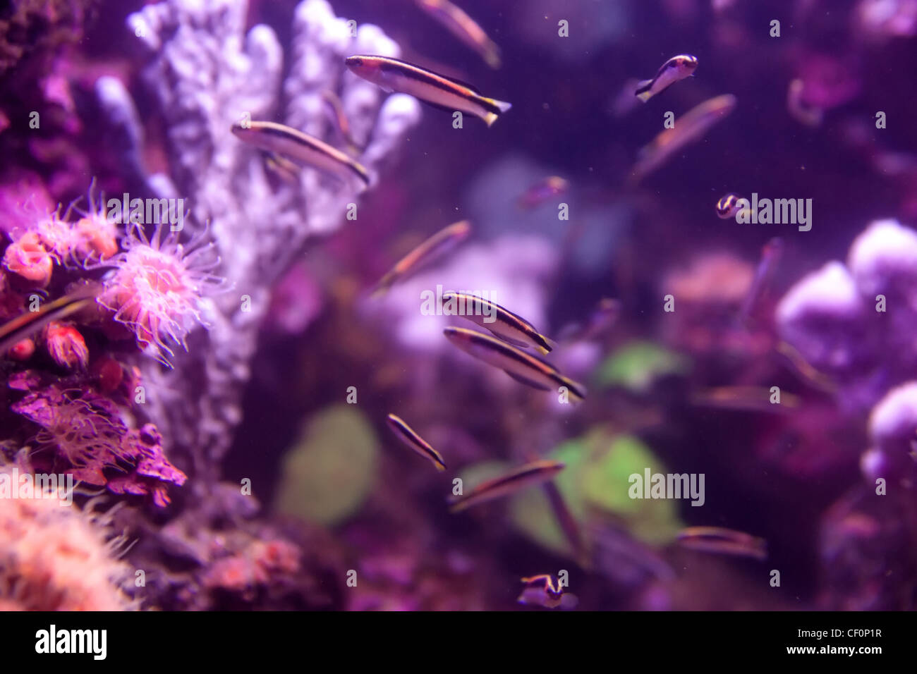 fishes coral and anemones in the bottom of aquarium or sea Stock Photo