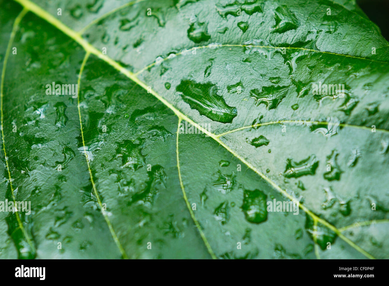 Closeup of a leaf with rain drops on it abstract nature background - Stock Image