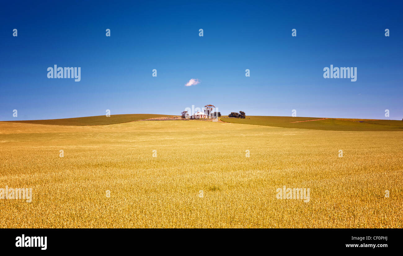 fields of wheat in the countryside at burra south australia Stock Photo