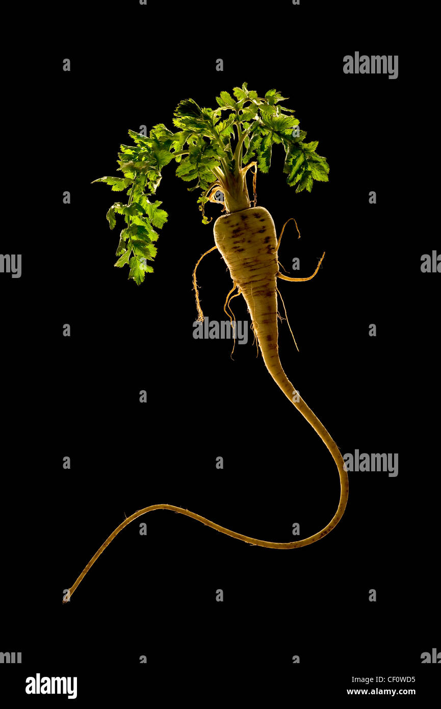 Parsnip with leaves on black background - Stock Image