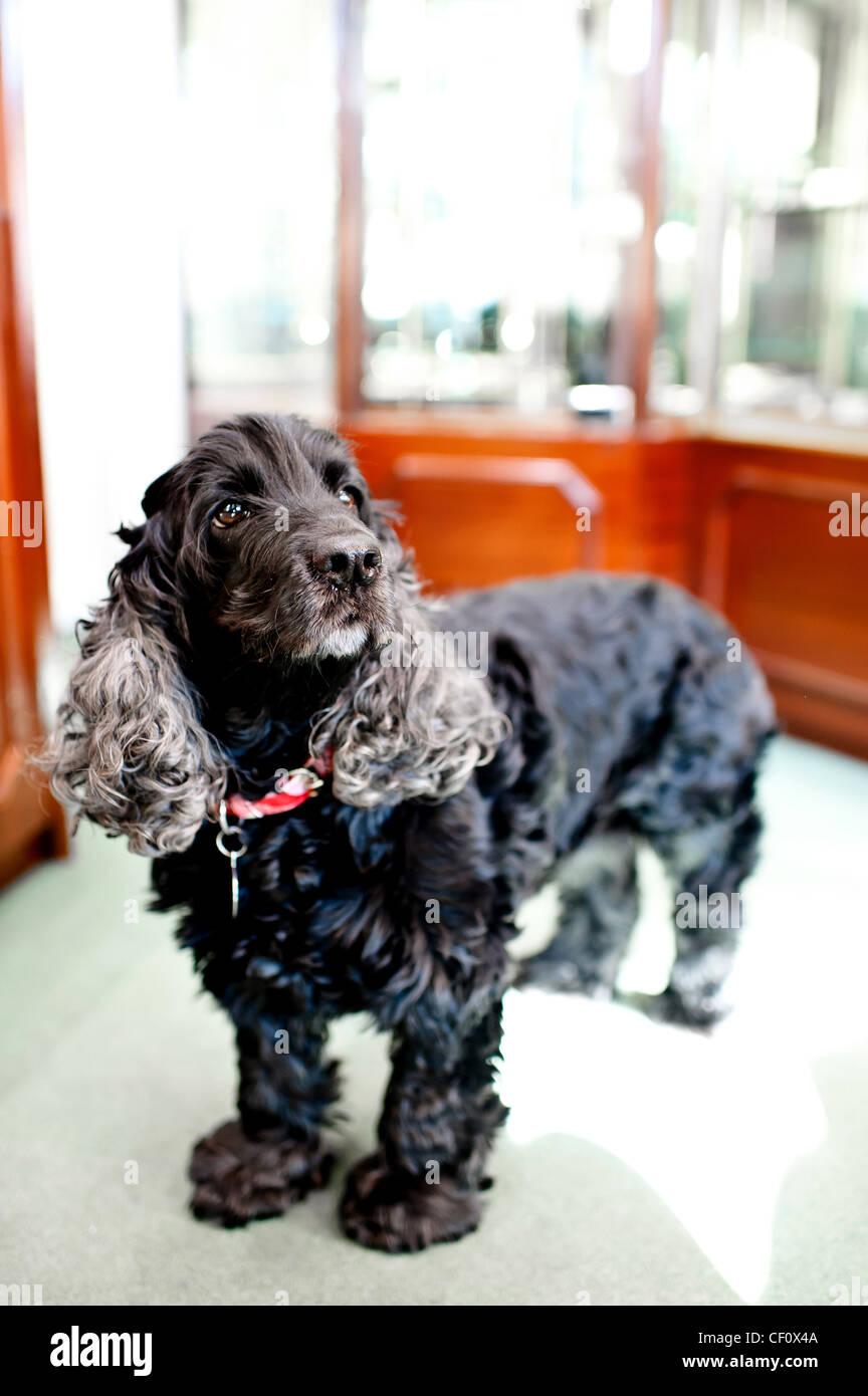 Black English Cocker spaniel dog standing up - Stock Image