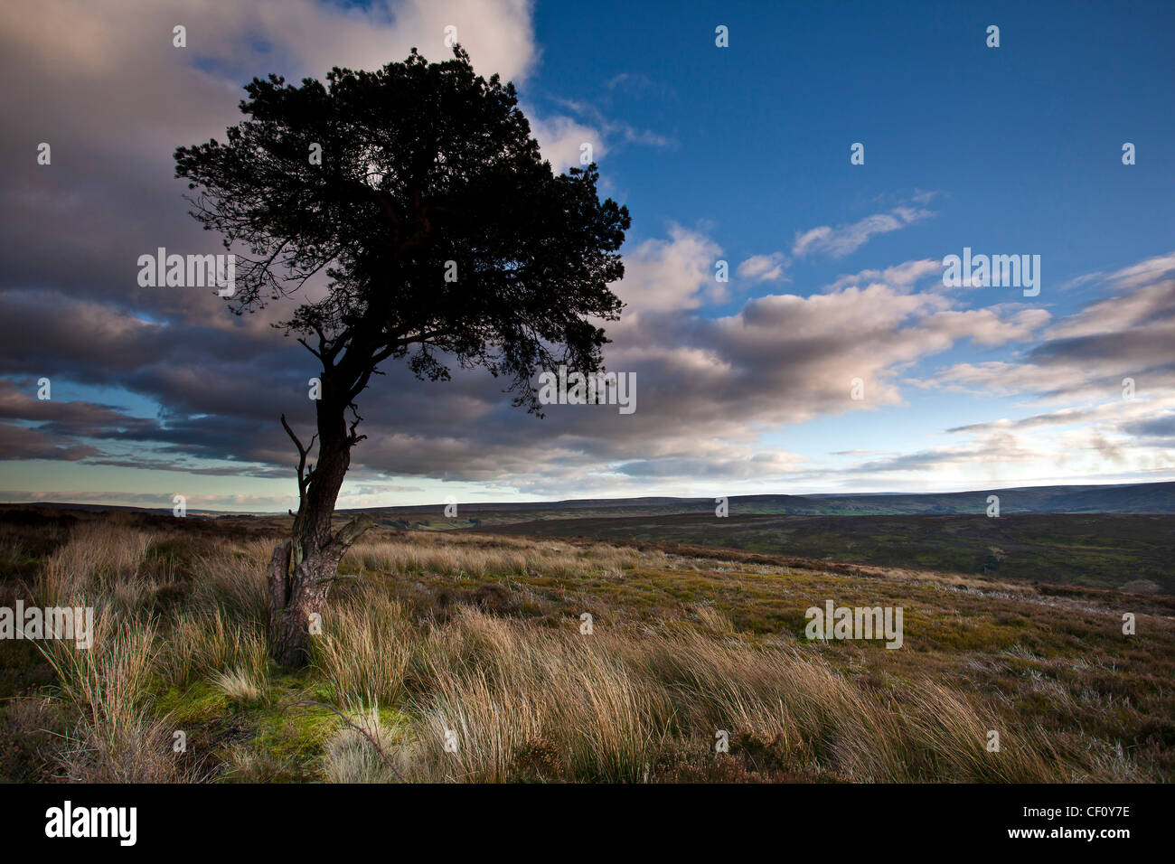 Lone Pine Tree and grasses on the North York Moors National Park in Winter - Stock Image