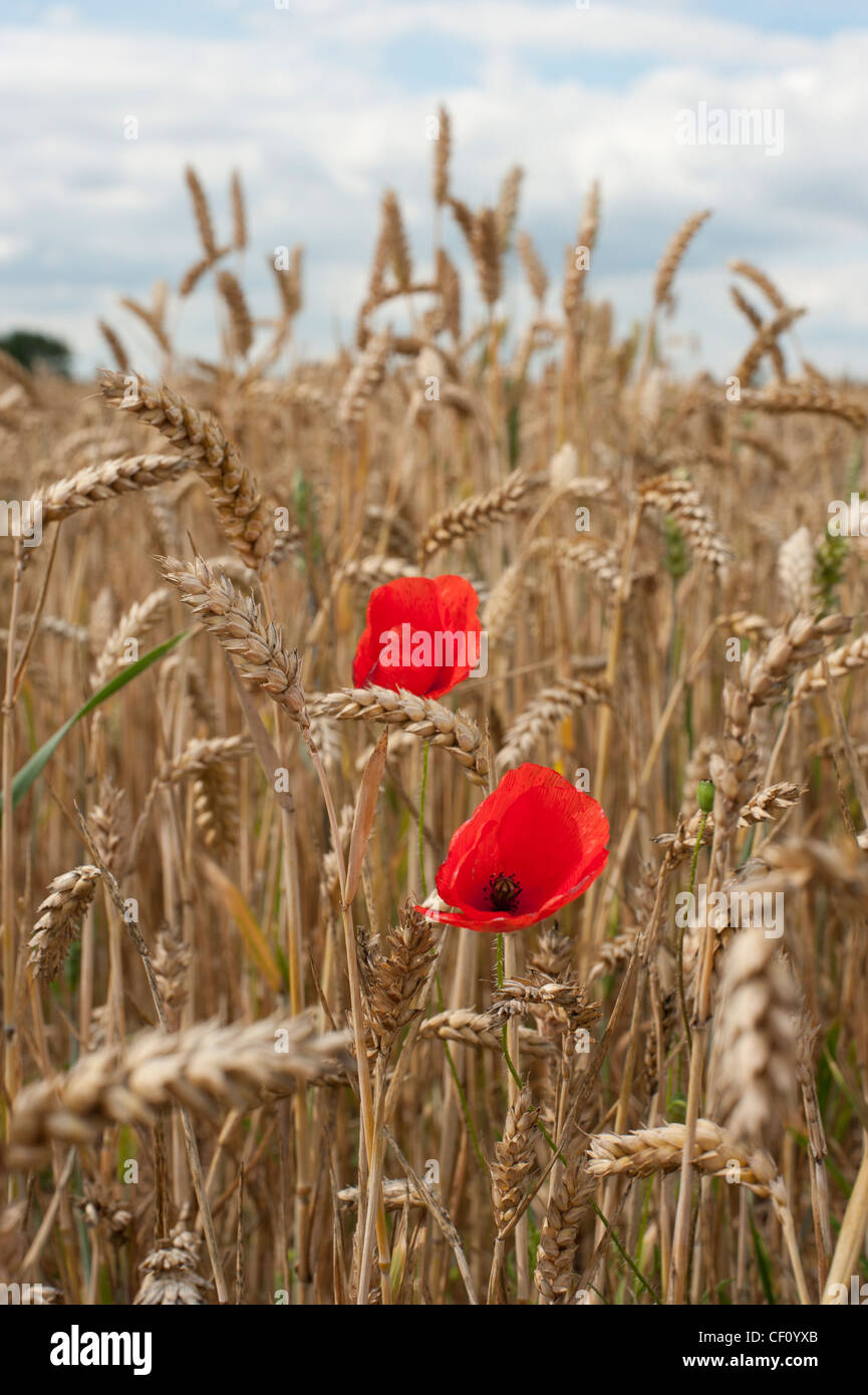 red poppies in a wheat field - Stock Image