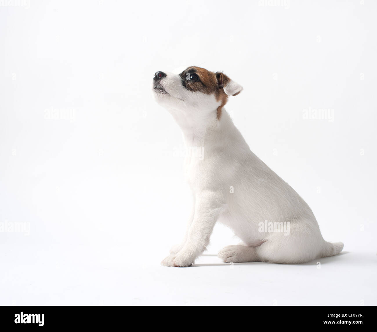 jack russell puppy looking up - Stock Image
