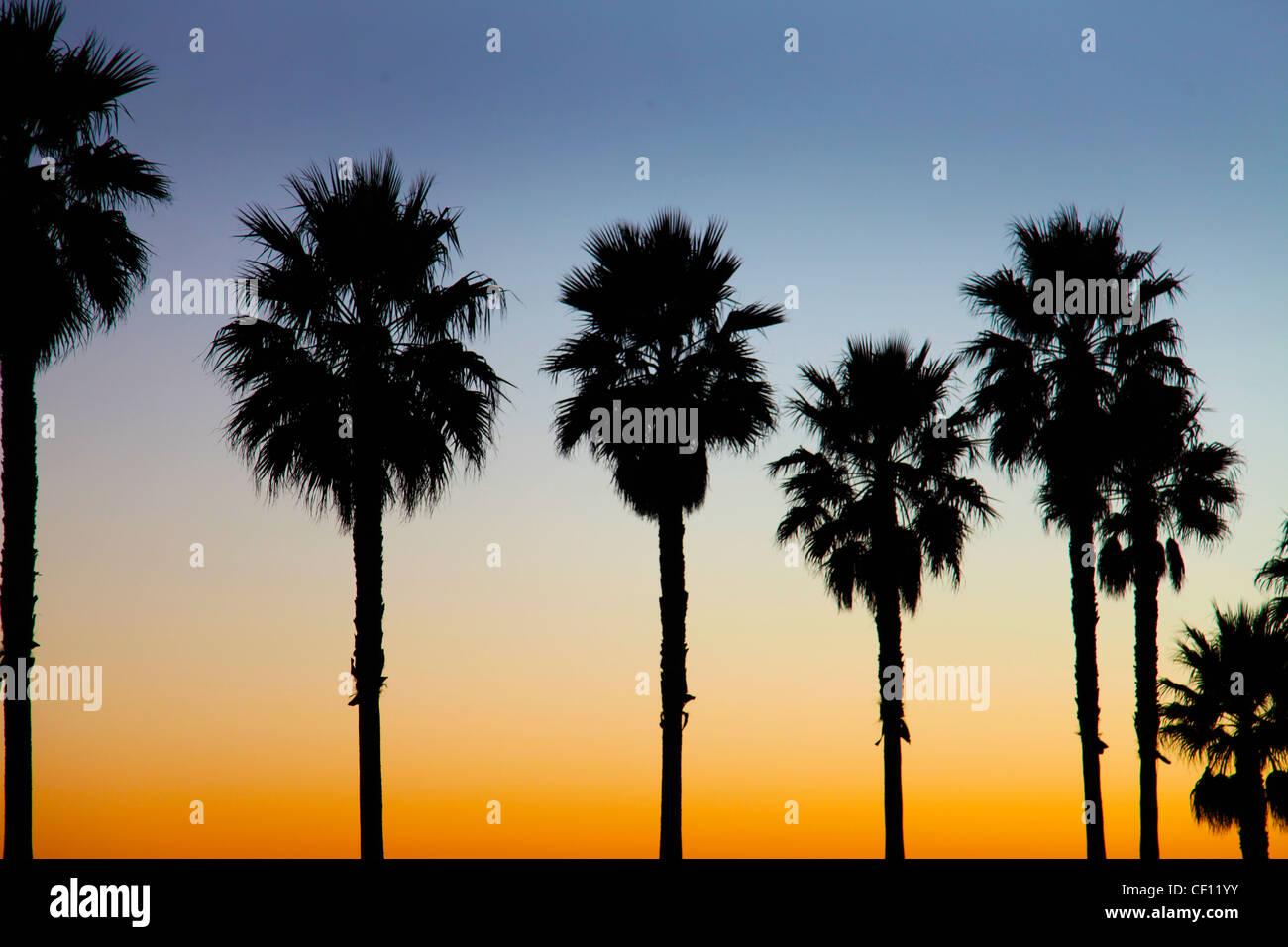 PALM TREES,CALIFORNIA,USA - Stock Image