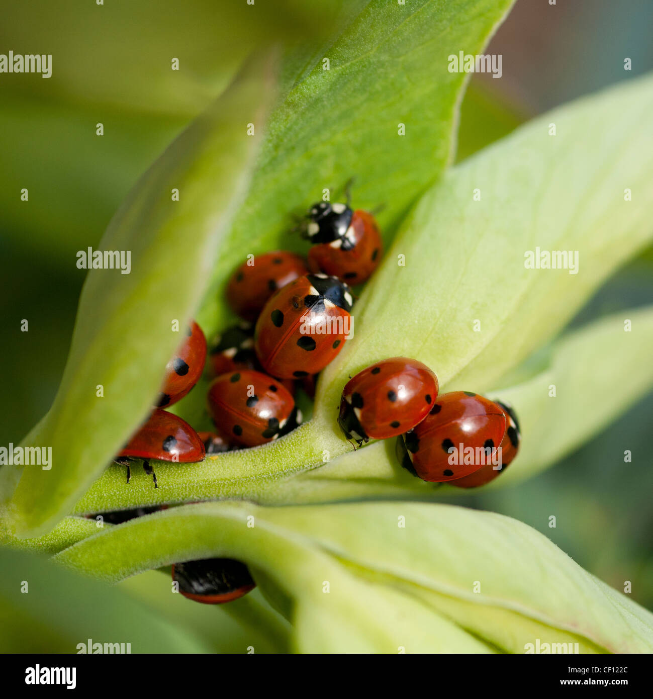 Ladybirds in a secluded nest of evergreen leaves emerging from hibernation.   Gardener's best friend for aphid - Stock Image