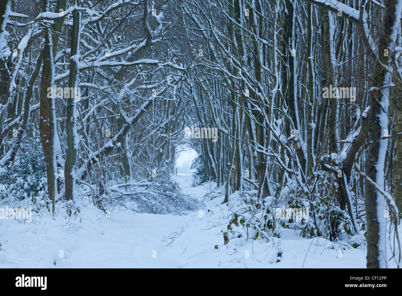 Fresh snow fall in a forest near the village of Stowting in Kent Stock Photo