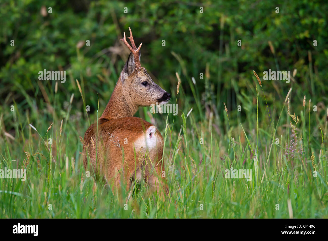 Roe deer (Capreolus capreolus) roebuck at forest's edge, Germany - Stock Image