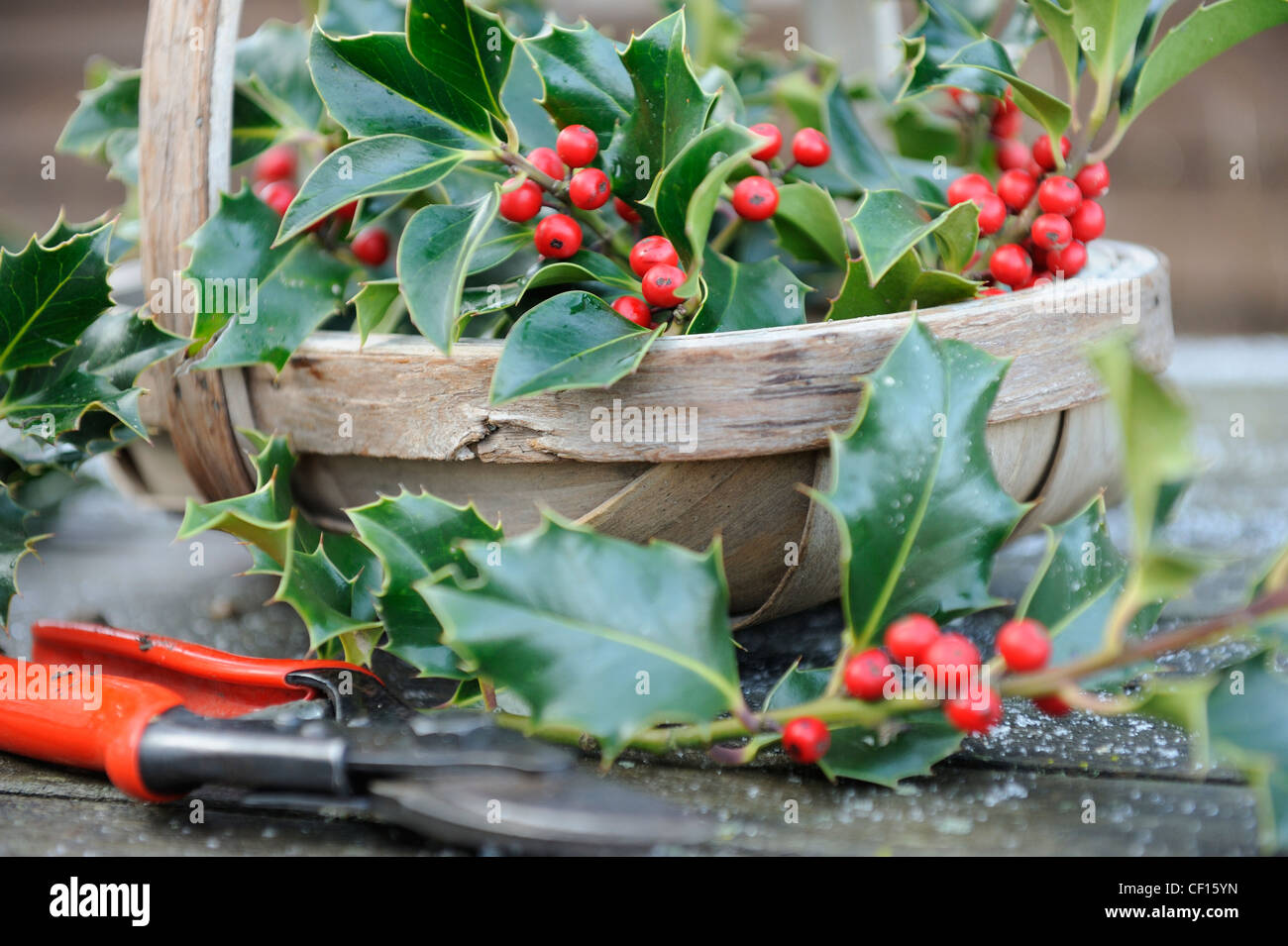 Collecting Holly for christmas decoration, trug of holly with red berries and secateurs, England, December - Stock Image