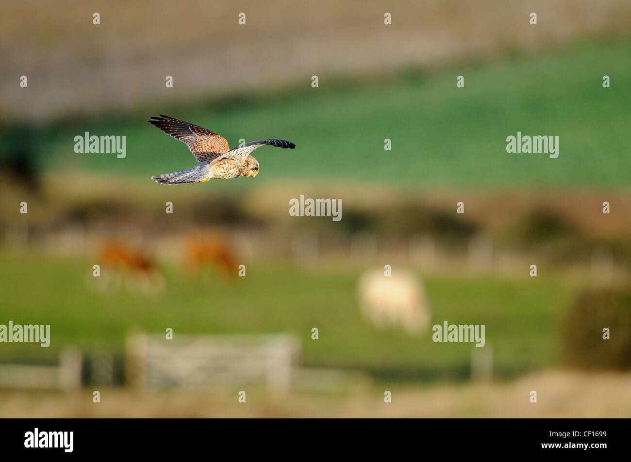 kestrel, falco tinnunculus, female hunting over pastureland, with grazing livestock in distance, Norfolk, England, - Stock Image