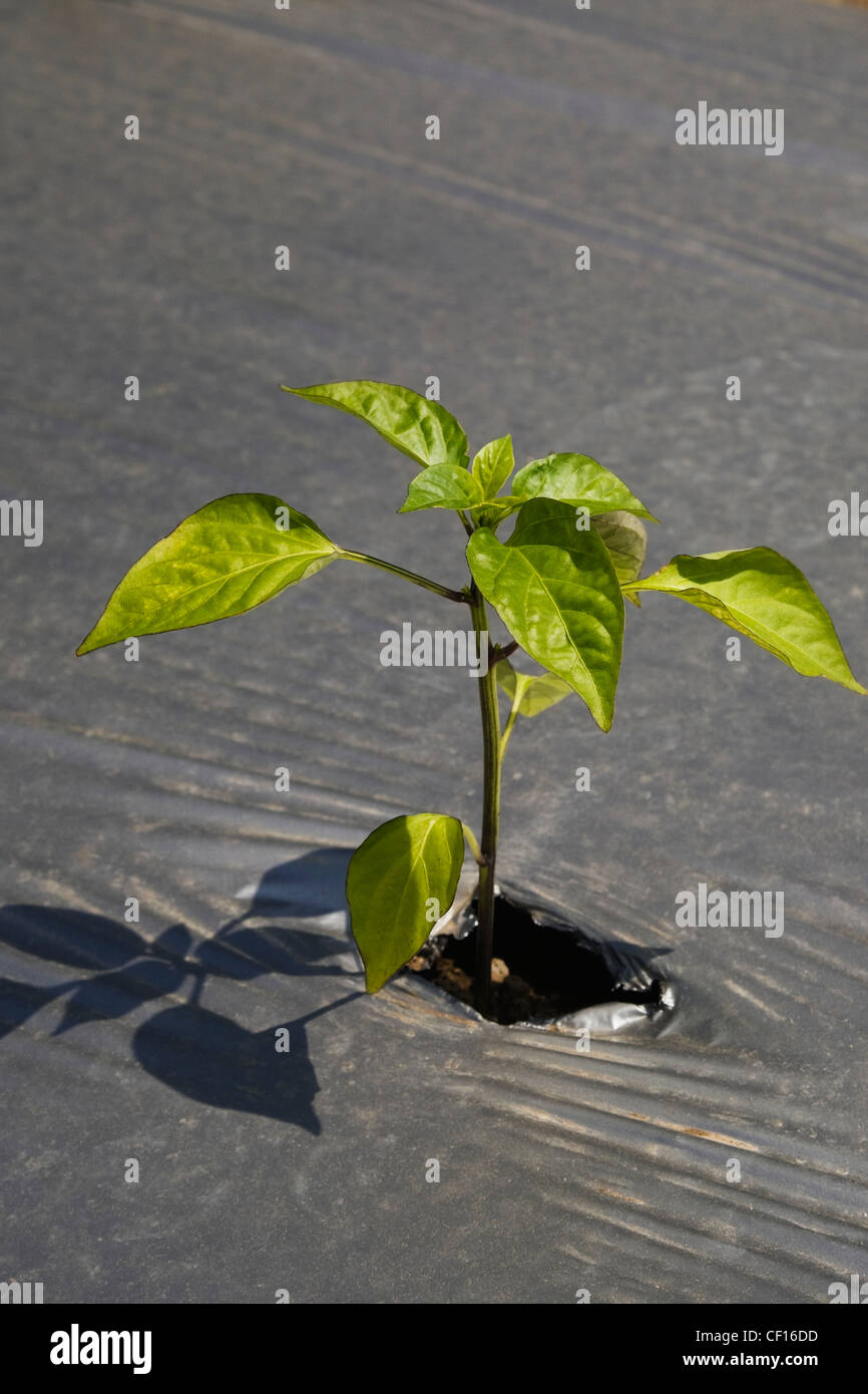 Young Plant Growing Through The Protective Sheeting In An Agricultural Field At Springtime; Quebec Canada - Stock Image