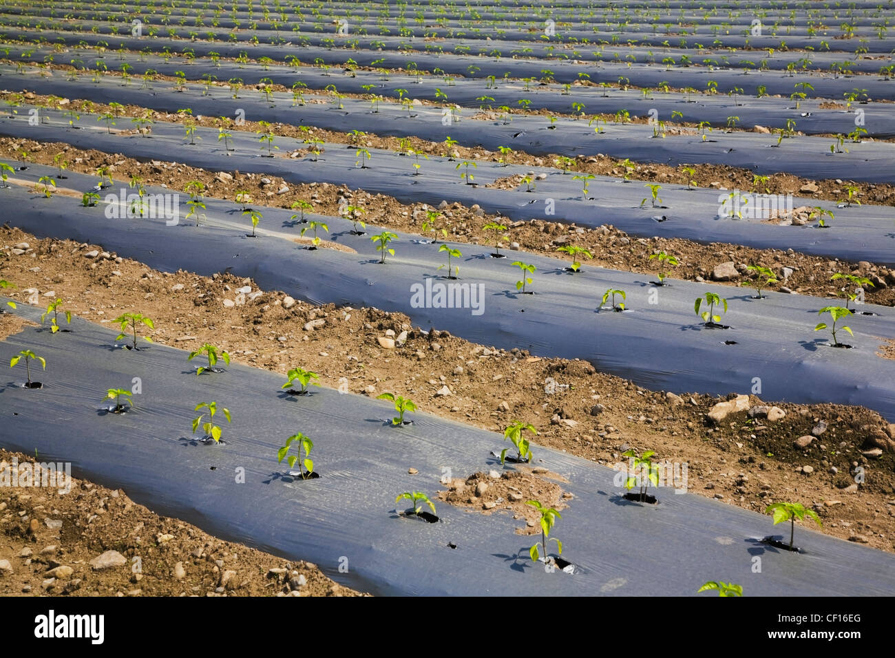Young Plants Growing Through The Protective Sheeting In An Agricultural Field At Springtime; Quebec Canada - Stock Image