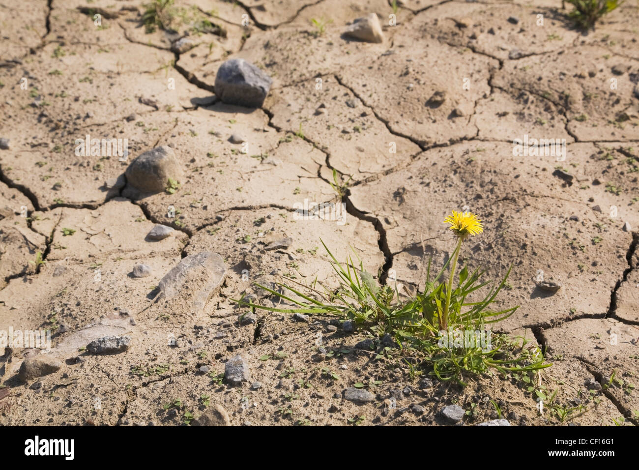 Yellow Dandelion Flower Growing In A Parched Agricultural Field At Springtime; Laval Quebec Canada - Stock Image