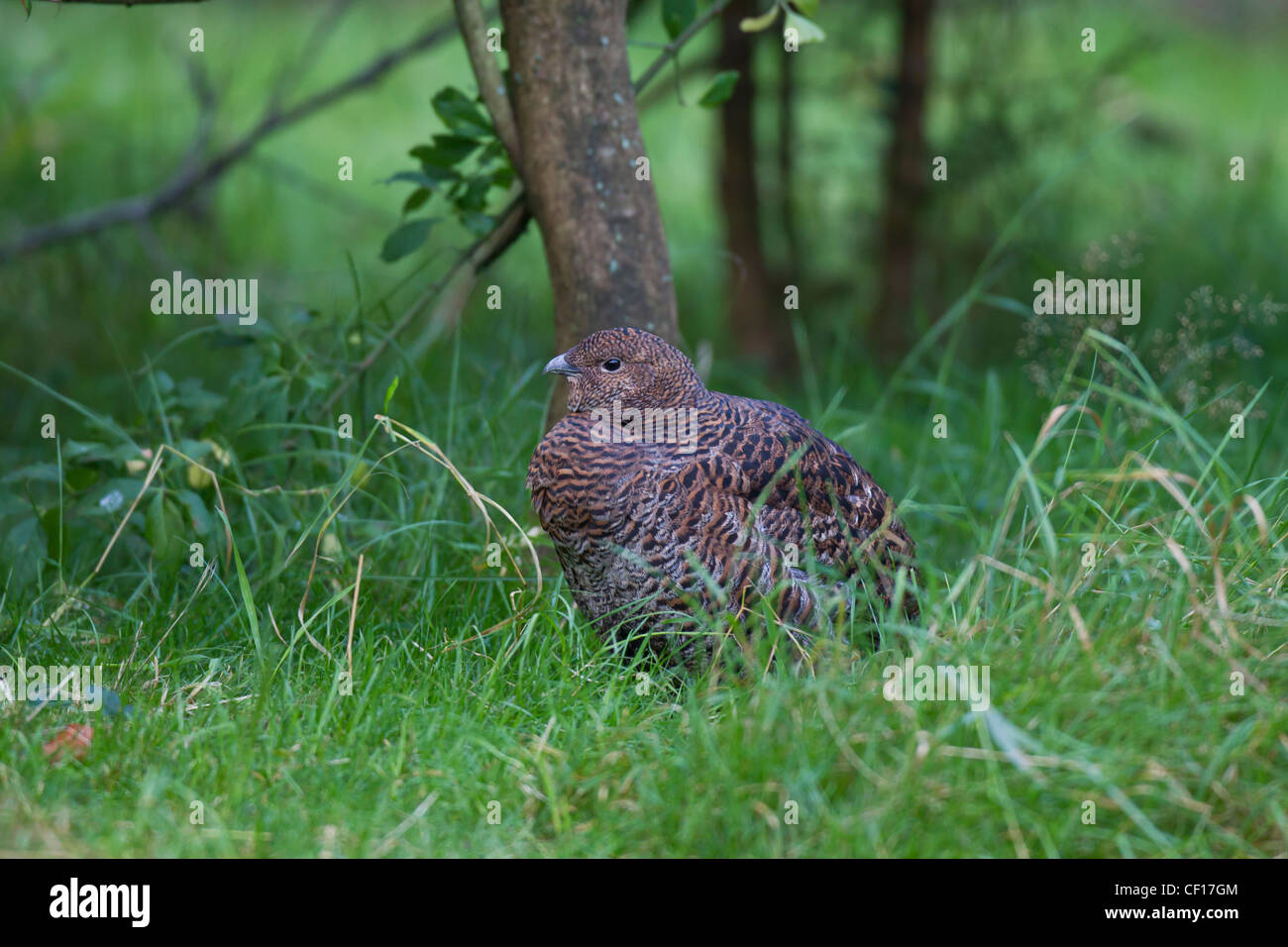 Black Grouse Blackgame birkhuhn tetrao tetrix - Stock Image