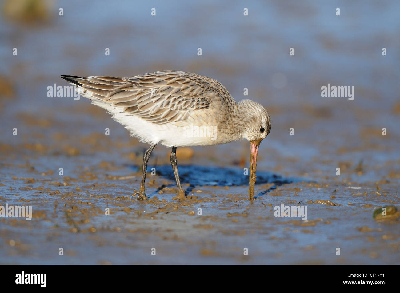 Bar tailed godwit, limosa lapponica, probing for invertebrates in inter tidal area, February - Stock Image