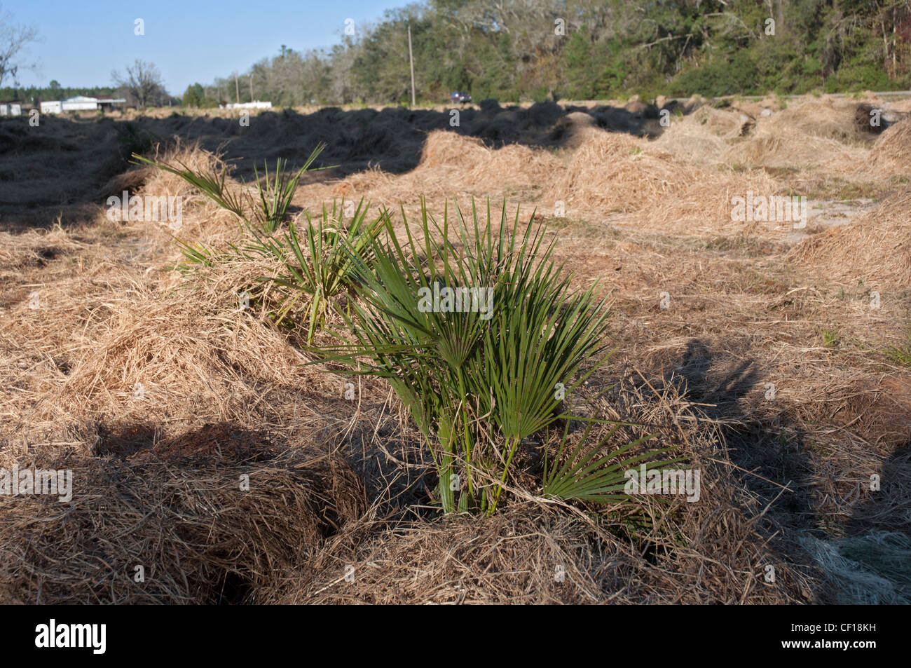 nursery protecting small palm trees from cold weather with pine straw mulch, North Florida Stock Photo