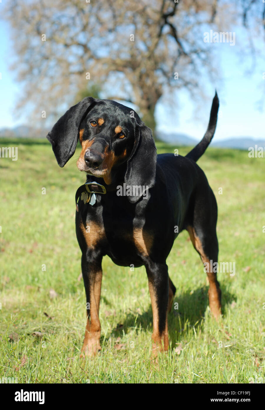 Black and Tan Coonhound portrait, outdoor, full body. - Stock Image