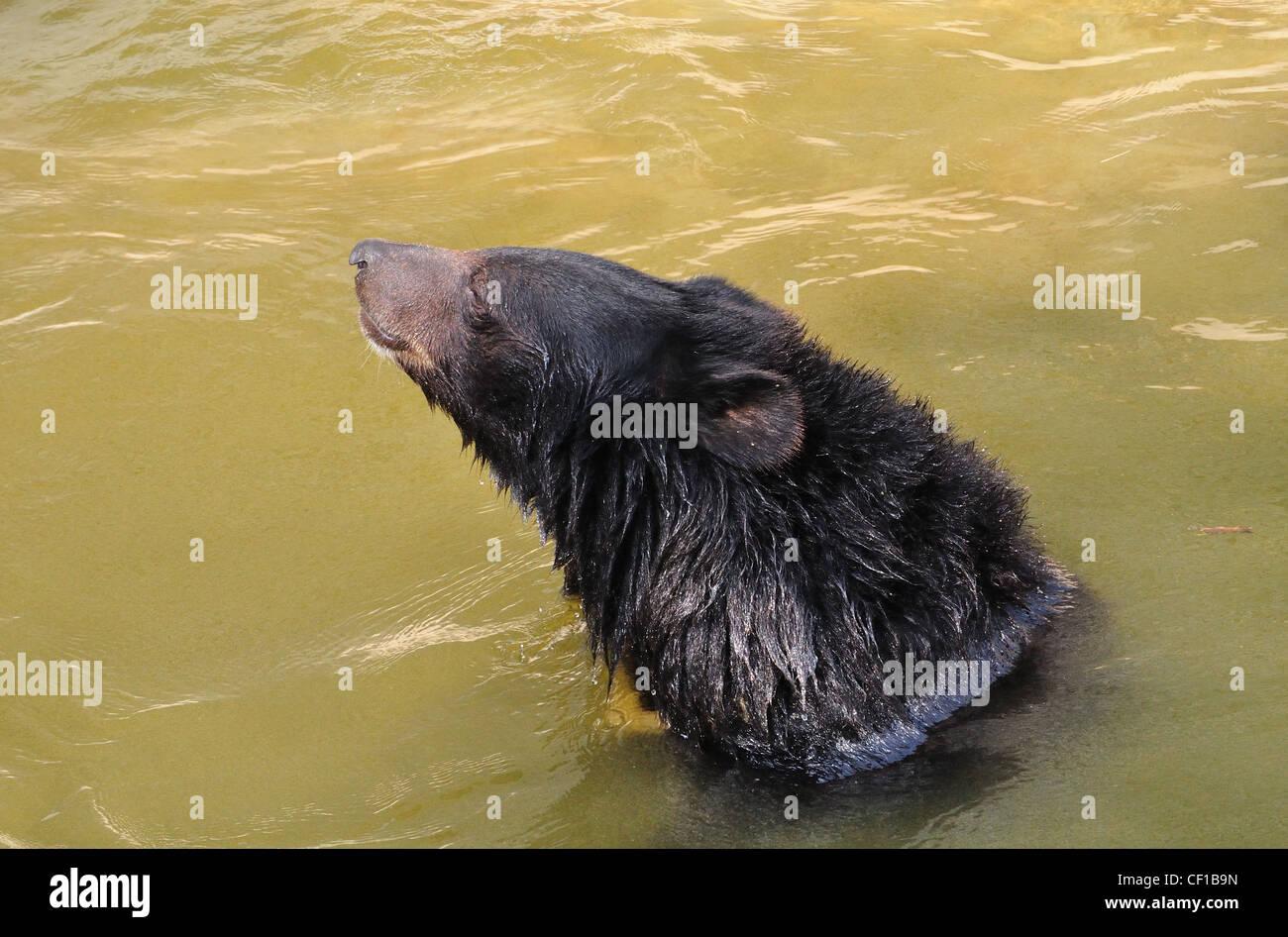 Himalayan Black Bear ( Selenarctas Thibetanus ) - Stock Image