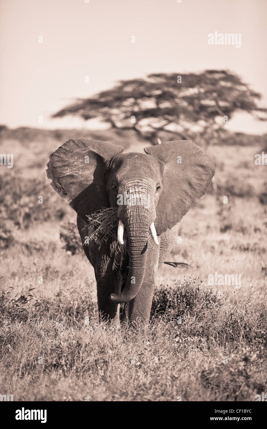 An Elephant Carrying Long Grass In It's Mouth; Samburu Kenya - Stock Image