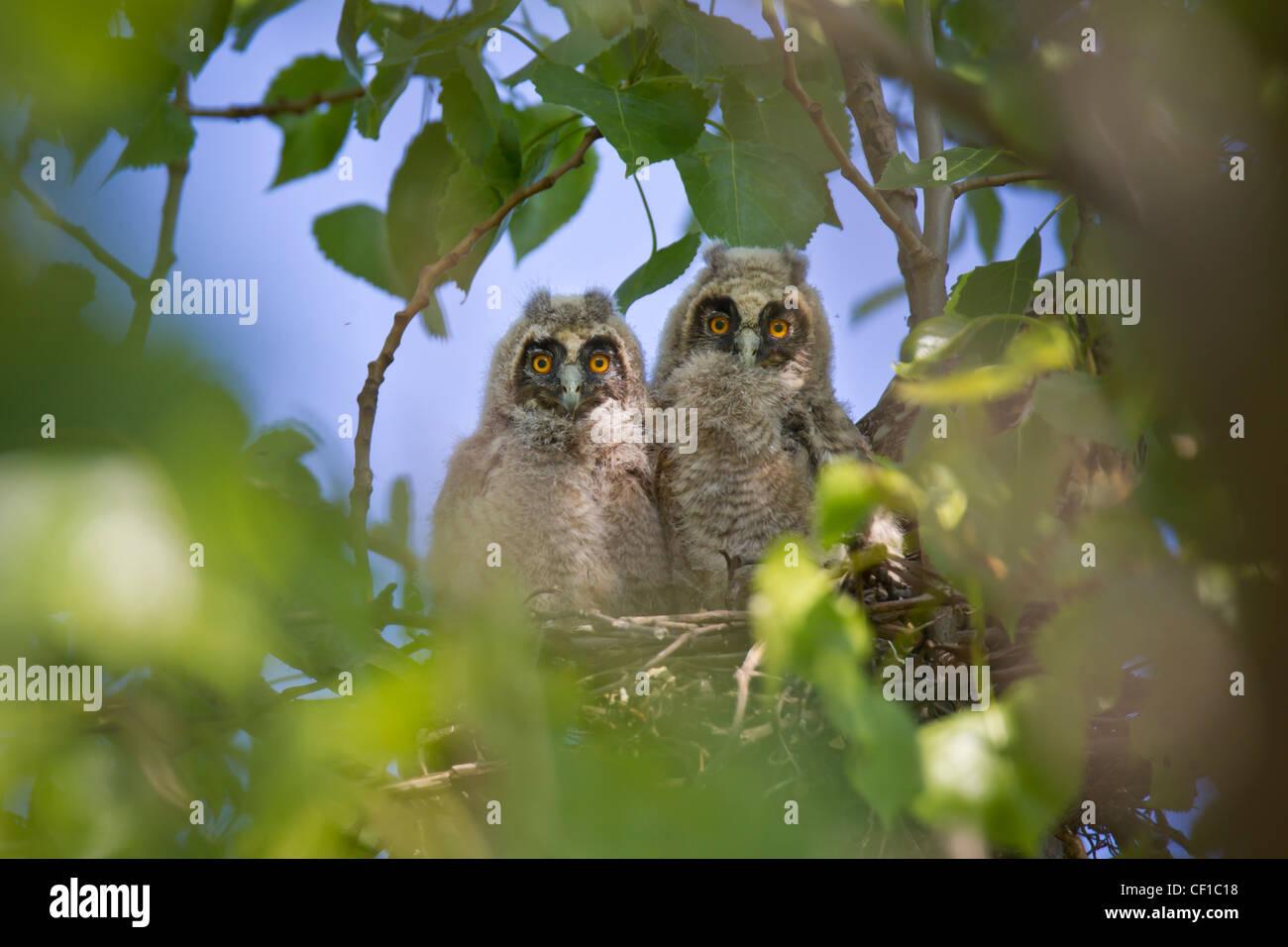 Waldohreule, Asio otus, long-eared owl - Stock Image