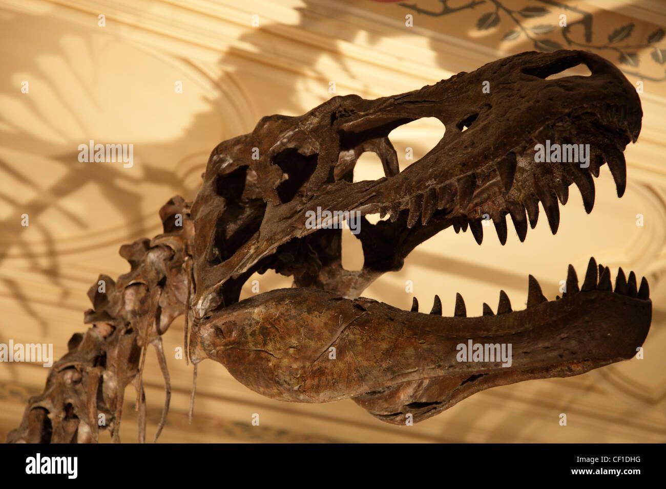 Albertosaurus skull in the Natural History Museum, London. - Stock Image