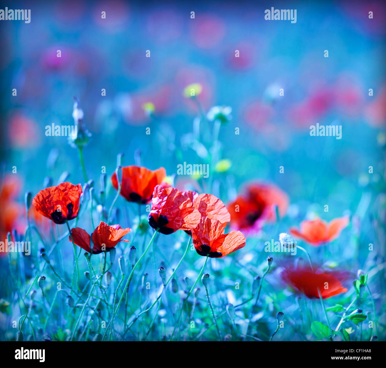 Poppy flower field at night with a dreamy blue cast and