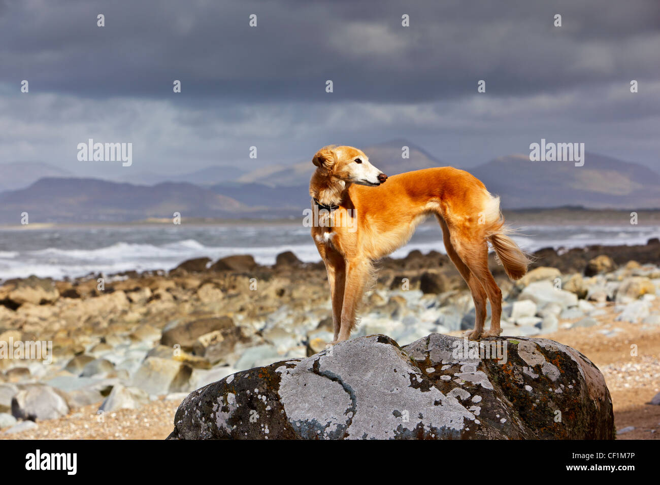 A Saluki cross Lurcher standing on a large rock on the beach at Llanfair. - Stock Image