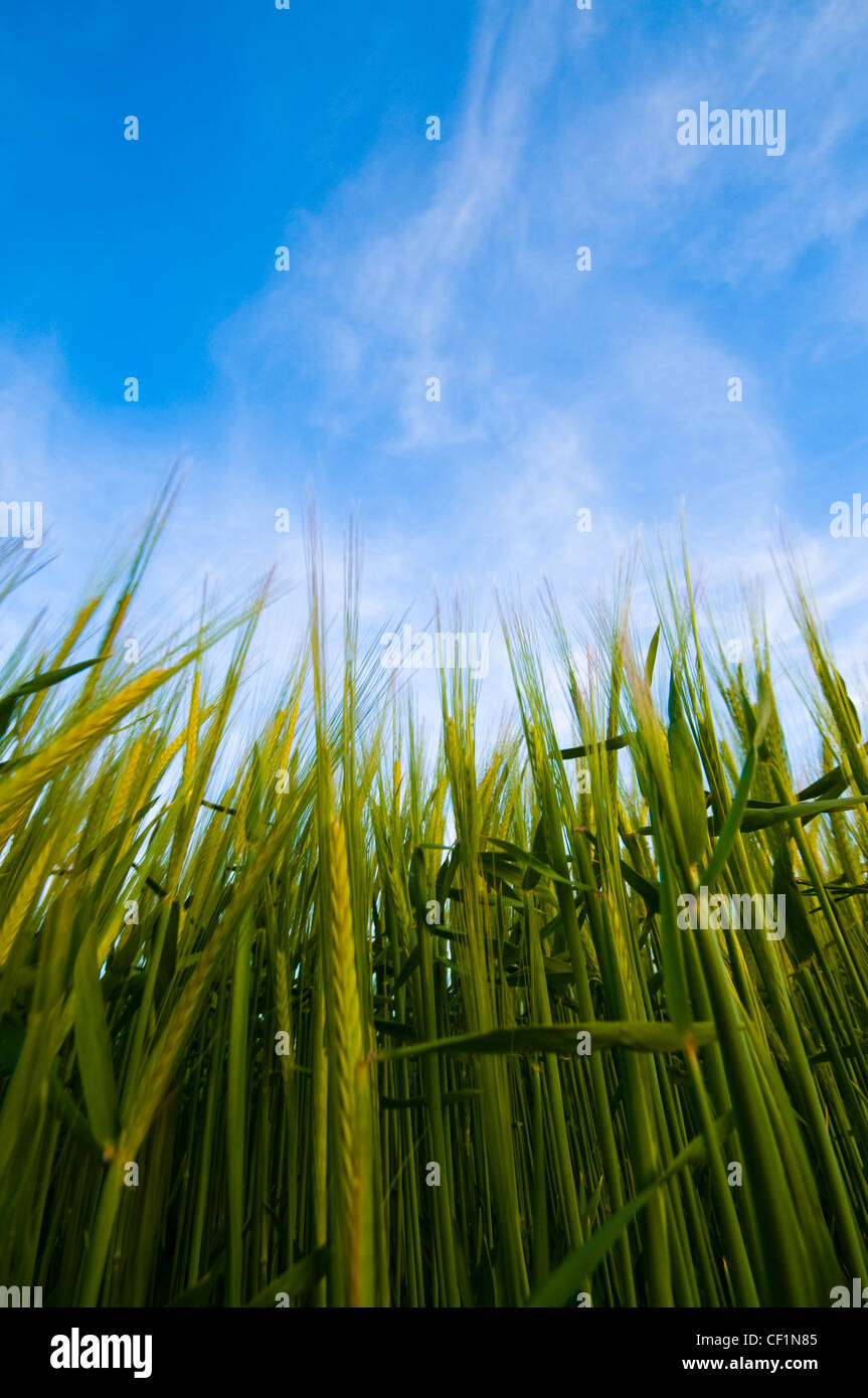 Crop of barley growing. This crop is several months away from harvest and is still immature and green in colour. Stock Photo