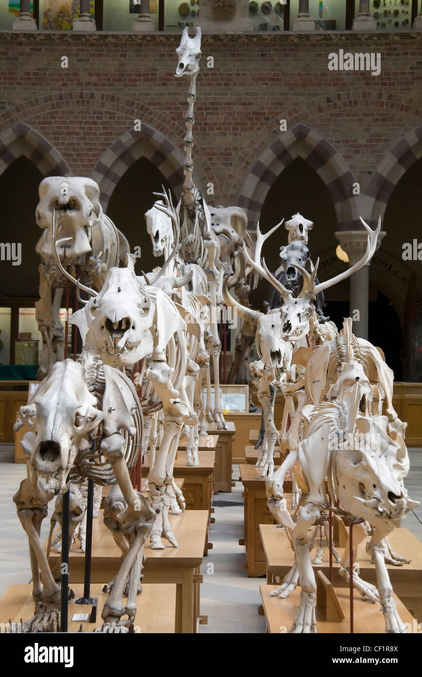 March of the skeletons on display in Oxford University Museum of Natural History. - Stock Image