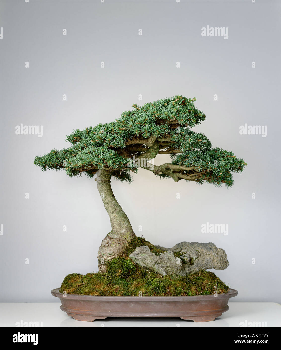 Fir Bonsai High Resolution Stock Photography And Images Alamy