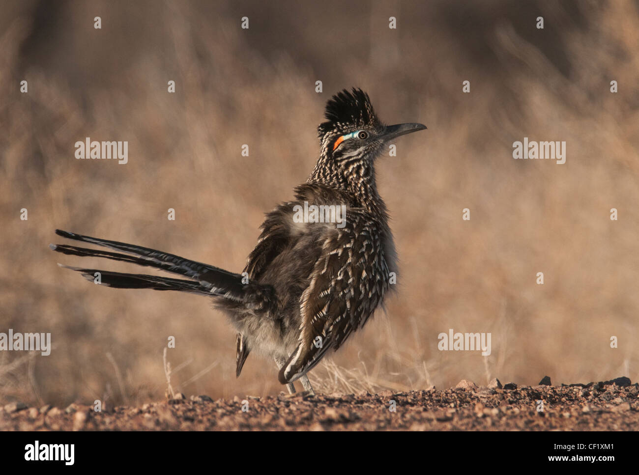The Roadrunner of Cuckoo is a ground dwelling bird more apt to run than fly from danger. - Stock Image