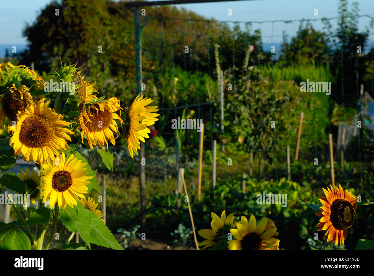 Sunflowers growing on an allotment, with vegetables in the background. - Stock Image
