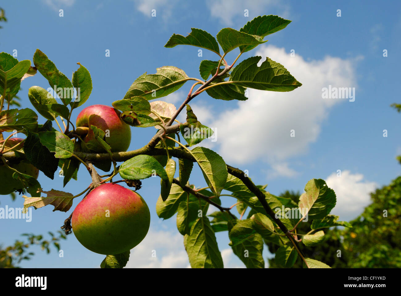 Close up of an apple growing in an orchard in Kent, known as the garden of England. - Stock Image