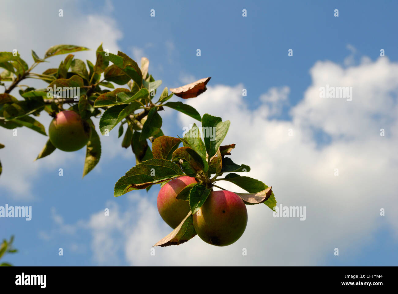 Close up of apples growing in an orchard in Kent, known as the garden of England. - Stock Image