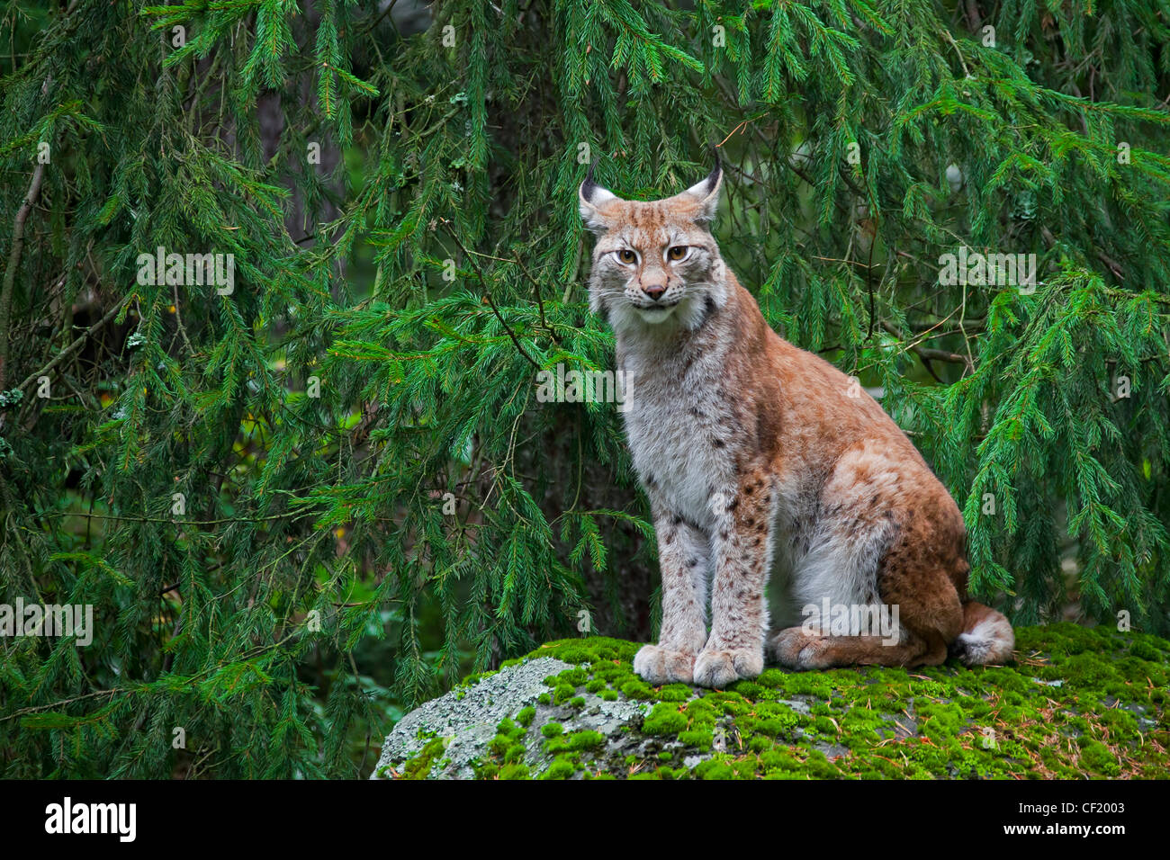 Eurasian lynx (Lynx lynx) sitting on rock in pine forest, Sweden - Stock Image