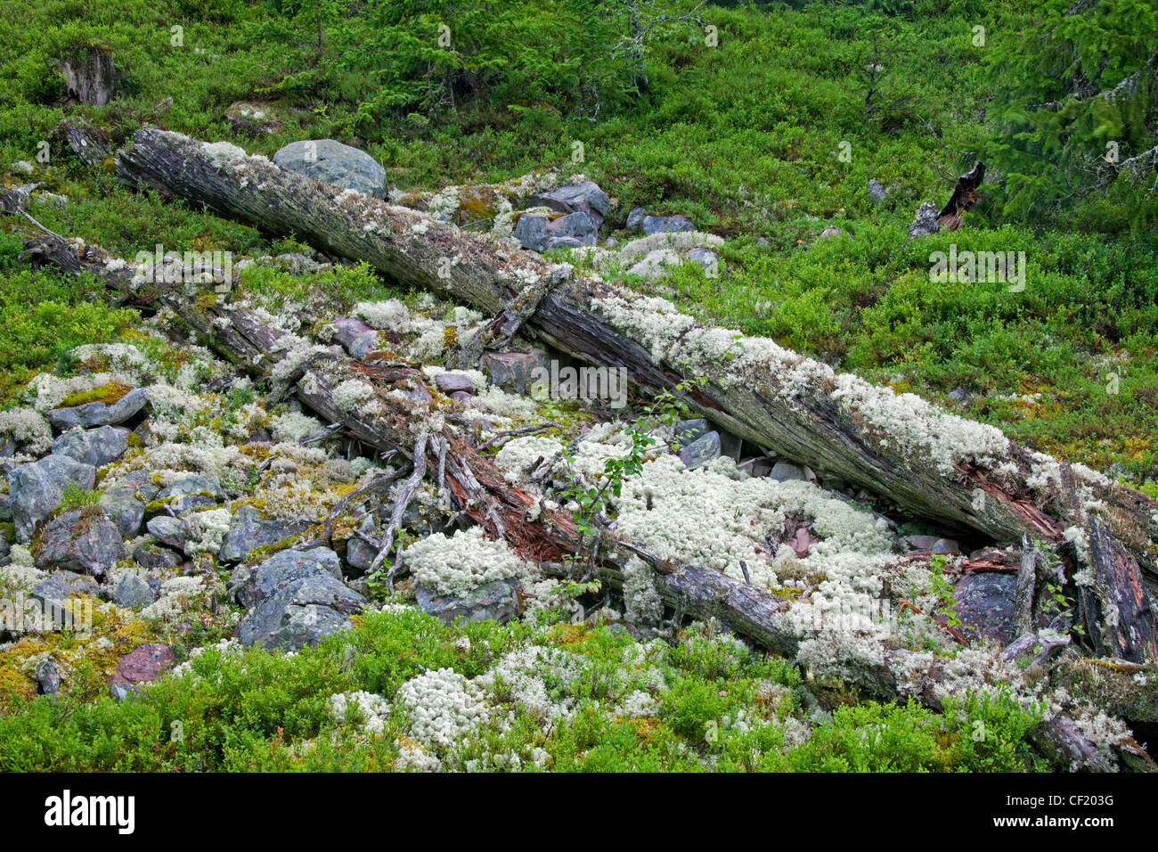 Fallen pine tree trunk covered in reindeer lichen left to rot in virgin forest at Fulufjaellet / Fulufjället - Stock Image