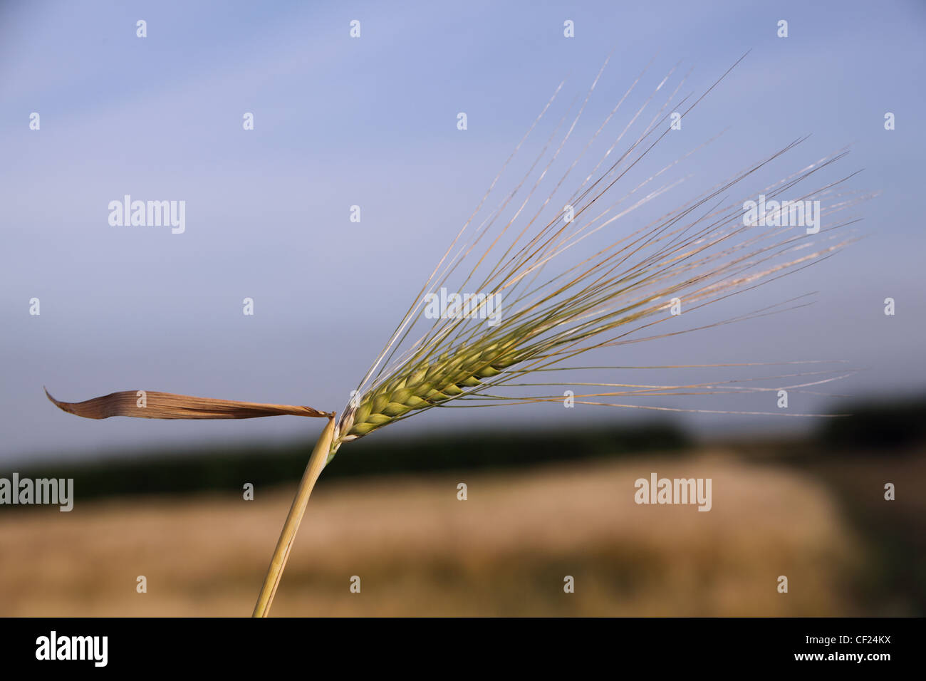 A Single ear of barley (corn) isolated from a field, summer just before harvest. Low light near sunset. - Stock Image