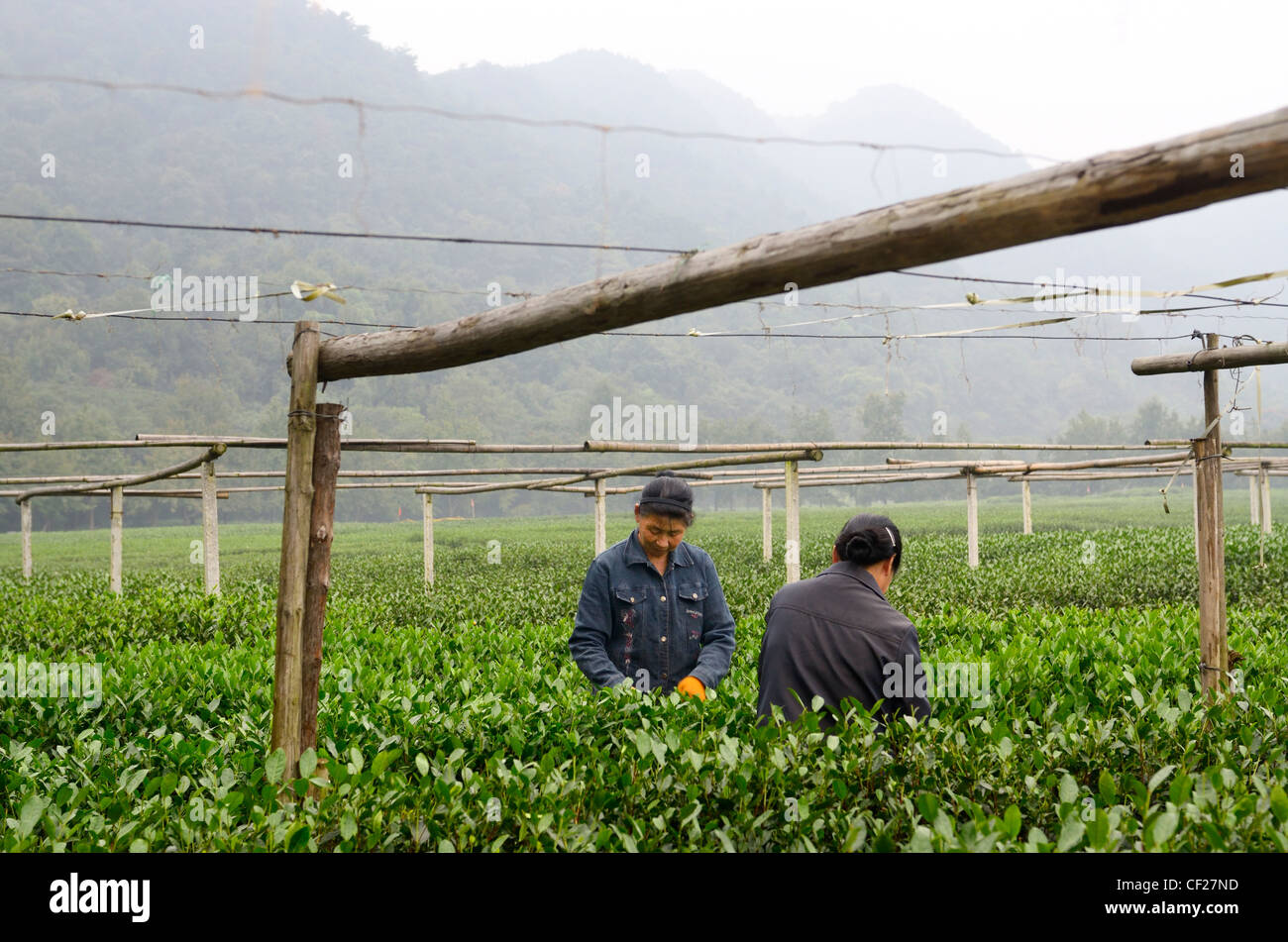 Female workers picking tea leaves at the West Lake Xi Hu plantation in Hangzhou China - Stock Image
