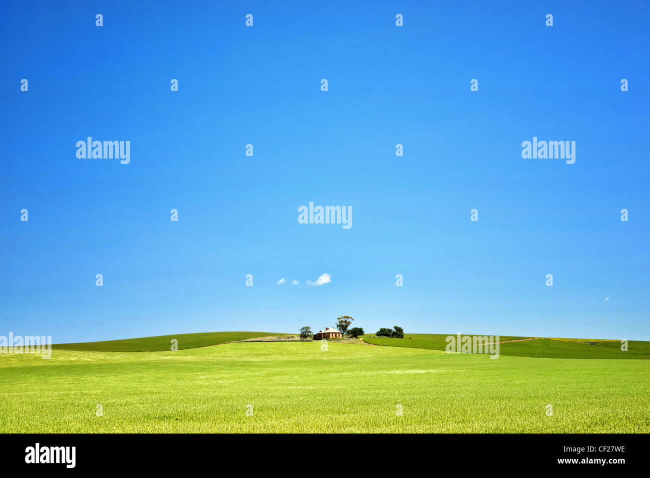 fields of wheat in the countryside at burra south australia - Stock Image