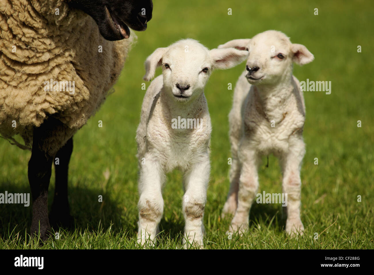 A Lamb With Two Sheep; Dublin Ireland - Stock Image