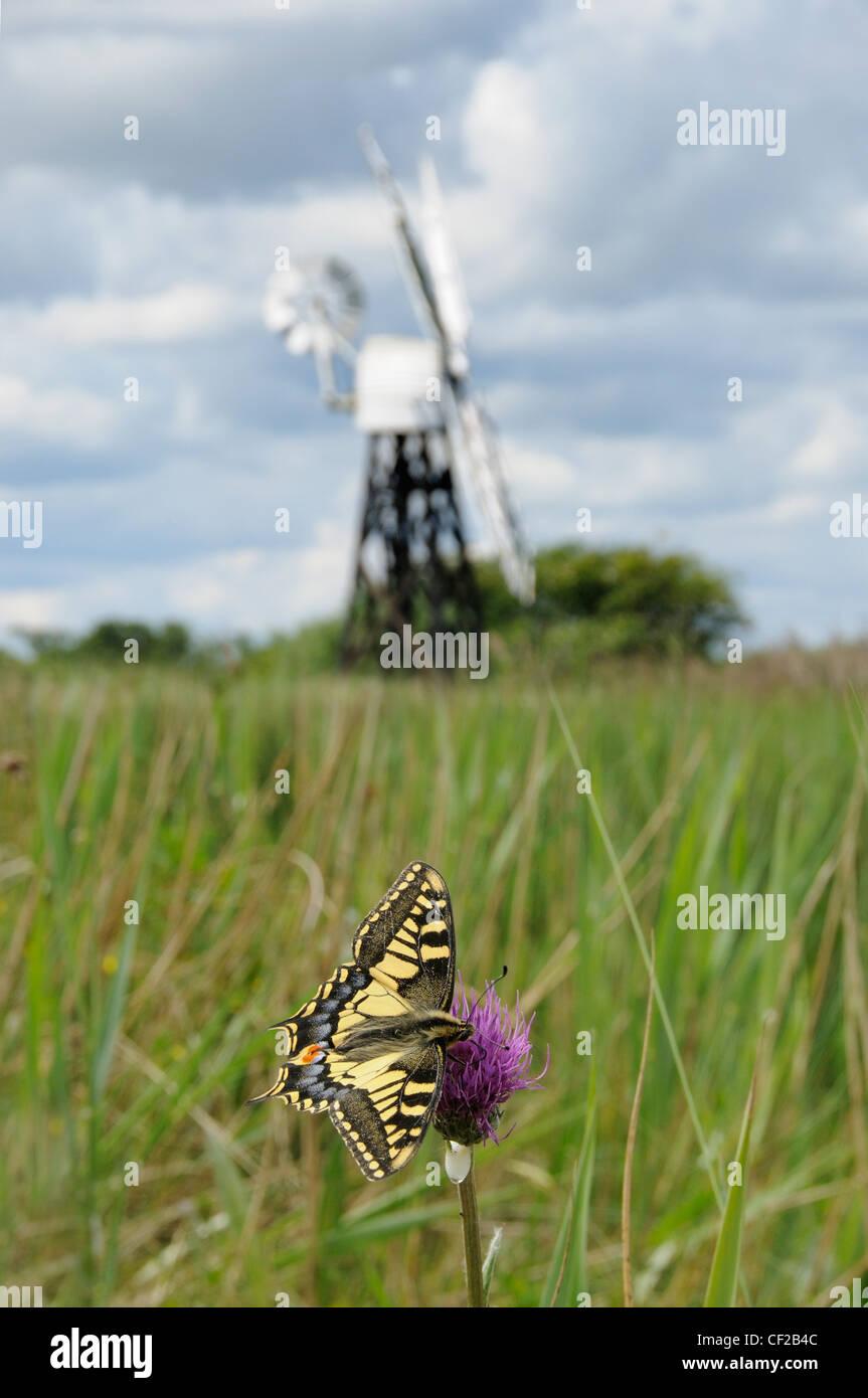 Swallowtail Butterfly, papilio machaon ssp britannicus, feeding on melancholy thistle. Stock Photo