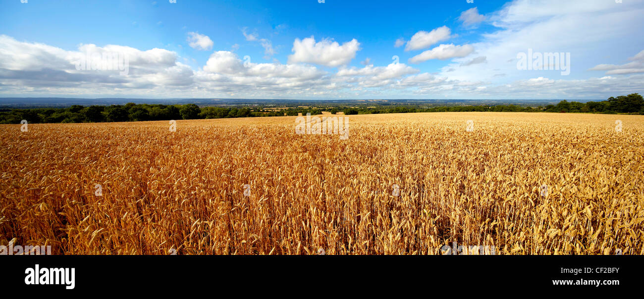 Wheatfield in the Weald of Kent. - Stock Image