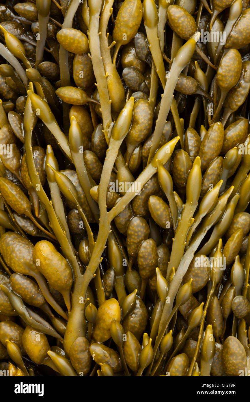 Close-up of Sea Kelp and Sea Weed found along the beach on the shore of the North Tyneside Coast. - Stock Image