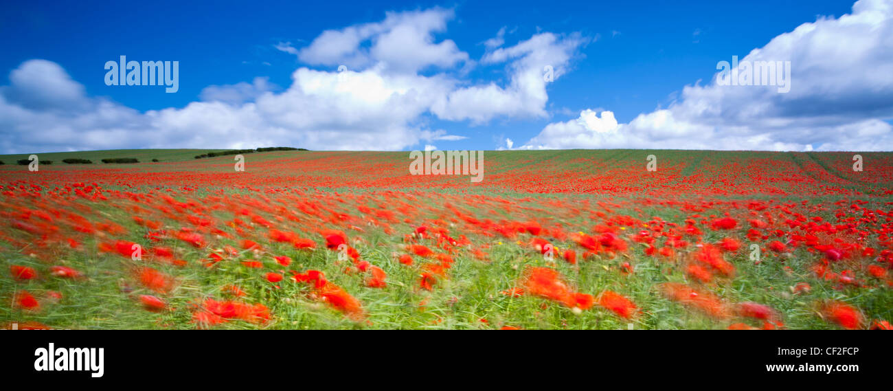 Poppies growing in a commercial poppy / wild-flower seed field in Northumberland. - Stock Image